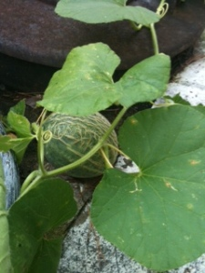 Volunteer cantaloupe growing between my trash cans!